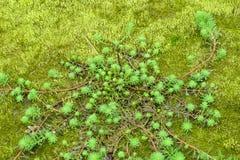 Κλείστε επάνω Milfoil (aquaticum Myriophyllum) Στοκ φωτογραφίες με δικαίωμα ελεύθερης χρήσης