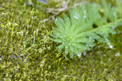Κλείστε επάνω Milfoil (aquaticum Myriophyllum) Στοκ Φωτογραφία