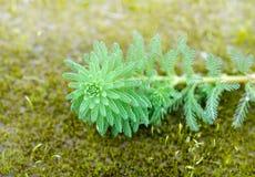Κλείστε επάνω Milfoil (aquaticum Myriophyllum) Στοκ Φωτογραφίες
