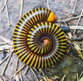 Κλείστε επάνω millipedes Στοκ εικόνα με δικαίωμα ελεύθερης χρήσης