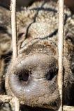 Κλείστε επάνω snout του δασικού χοίρου Στοκ φωτογραφία με δικαίωμα ελεύθερης χρήσης