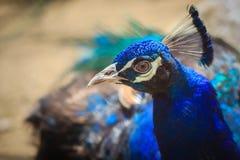 Κλείστε μέχρι το όμορφο πρόσωπο του νέου αρσενικού peacock με το μπλε pluma Στοκ Εικόνα