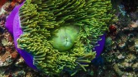Κλείστε μέχρι το anemone Στοκ εικόνα με δικαίωμα ελεύθερης χρήσης