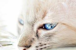 Κλείστε τα επάνω λαμπιρίζοντας μπλε μάτια της άσπρης γάτας Στοκ Φωτογραφίες