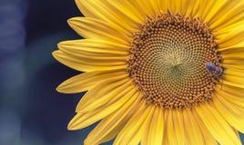 Κλείστε του λουλουδιού ήλιων με εξασθενισμένο αναδρομικό ανατρέχει Στοκ φωτογραφία με δικαίωμα ελεύθερης χρήσης