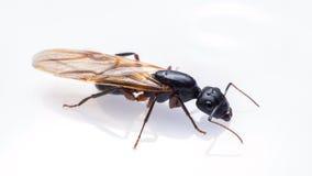 Κλείστε το επάνω πετώντας μυρμήγκι που απομονώνεται στο άσπρο υπόβαθρο Στοκ Εικόνες