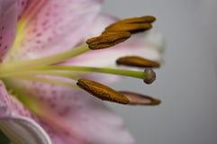 κλείστε lilly επάνω Στοκ Φωτογραφίες