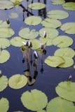 Κλειστά λουλούδια Lotus που αυξάνονται στη μέση μιας λίμνης στον κήπο που περιβάλλεται από τα μαξιλάρια κρίνων Στοκ Εικόνες