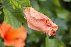 Κλειστά Hibiscus Rosa-Sinensis ` πολυτελές ` Στοκ φωτογραφία με δικαίωμα ελεύθερης χρήσης