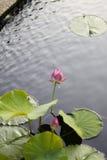 Κλειστή ανάπτυξη λουλουδιών Lotus στη μέση μιας λίμνης στον κήπο που περιβάλλεται από τα μαξιλάρια κρίνων Στοκ εικόνα με δικαίωμα ελεύθερης χρήσης