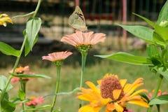 Κλειστή επάνω πεταλούδα στο λουλούδι Στοκ Εικόνα