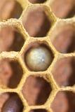 Κλειστός επάνω του αυγού σφηκών Στοκ Φωτογραφία