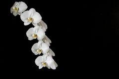 Κλειστός επάνω των όμορφων άσπρων ορχιδεών Στοκ εικόνες με δικαίωμα ελεύθερης χρήσης