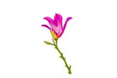 Κλειστό επάνω ρόδινο λουλούδι purpurea Bauhinia ή δέντρο πεταλούδων στο λευκό Στοκ φωτογραφίες με δικαίωμα ελεύθερης χρήσης