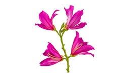 Κλειστό επάνω ρόδινο λουλούδι purpurea Bauhinia ή δέντρο πεταλούδων στο λευκό Στοκ εικόνα με δικαίωμα ελεύθερης χρήσης