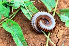 Κλειστό επάνω millipede στο χώμα στοκ εικόνες