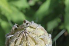 Κλειστό λουλούδι οφθαλμών Στοκ Φωτογραφία