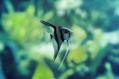 Κλιμακωτό goldfish Στοκ εικόνες με δικαίωμα ελεύθερης χρήσης
