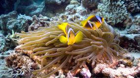 Κλόουν Anemonefish στην κοραλλιογενή ύφαλο Στοκ Φωτογραφίες