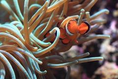 Κλόουν Anemonefish ως ψάρια nemo Στοκ Φωτογραφίες