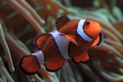 Κλόουν Anemonefish ως ψάρια nemo Στοκ Εικόνες