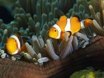 Κλόουν Anemonefish Στοκ φωτογραφίες με δικαίωμα ελεύθερης χρήσης