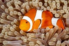 Κλόουν Anemonefish Στοκ φωτογραφία με δικαίωμα ελεύθερης χρήσης