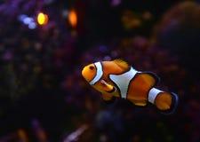 Κλόουν Anemonefish Στοκ εικόνες με δικαίωμα ελεύθερης χρήσης