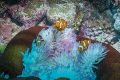Κλόουν Anemonefish Στοκ εικόνα με δικαίωμα ελεύθερης χρήσης