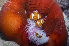 Κλόουν Anemonefish Στοκ Εικόνα