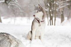 Λάικα στο χιόνι Χειμώνας ηλικία 2 Στοκ φωτογραφία με δικαίωμα ελεύθερης χρήσης
