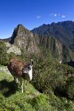 Λάμα και καταστροφές της χαμένης πόλης Machu Picchu Inca στο Περού - τη Νότια Αμερική Στοκ φωτογραφία με δικαίωμα ελεύθερης χρήσης