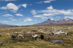 Λάμα και προβατοκάμηλοι Sajama στο εθνικό πάρκο στοκ εικόνες