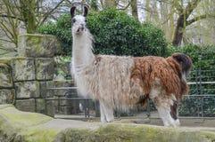 Λάμα που στέκεται ακόμα στο ζωολογικό κήπο Άμστερνταμ Artis τις Κάτω Χώρες Στοκ Φωτογραφίες