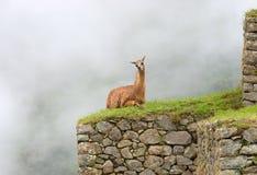 Λάμα σε Machu Picchu, Περού Στοκ Εικόνες