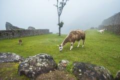Λάμα σε Machu Picchu στοκ εικόνα με δικαίωμα ελεύθερης χρήσης
