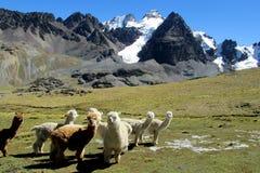 Λάμα στα βουνά των Άνδεων στο altiplano της Βολιβίας στοκ φωτογραφίες