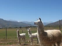 Λάμα στην κοιλάδα Limari στοκ φωτογραφίες με δικαίωμα ελεύθερης χρήσης