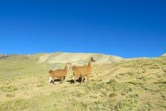 Λάμα στο βουνό των Άνδεων στοκ φωτογραφίες με δικαίωμα ελεύθερης χρήσης