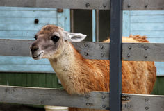 Λάμα στο ζωολογικό κήπο Στοκ φωτογραφίες με δικαίωμα ελεύθερης χρήσης