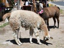 Λάμα στο Περού, Νότια Αμερική στοκ φωτογραφία με δικαίωμα ελεύθερης χρήσης