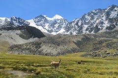 Λάμα στο altiplano στοκ φωτογραφίες