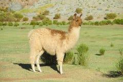 Λάμα στο altiplano στοκ εικόνες με δικαίωμα ελεύθερης χρήσης