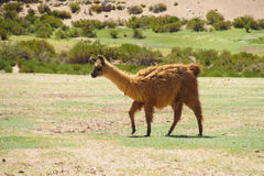 Λάμα στο altiplano Στοκ Φωτογραφία