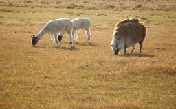 λάμα της Χιλής patagonean στοκ εικόνες με δικαίωμα ελεύθερης χρήσης