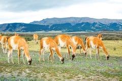 Λάμα Guanaco στα εθνικά βουνά πάρκων Torres del Paine, Παταγωνία, Χιλή, Αμερική στοκ εικόνα