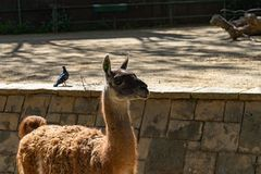 Λάμα Guanaco guanicoe στο ζωολογικό κήπο της Βαρκελώνης στοκ εικόνα