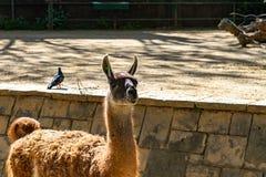 Λάμα Guanaco guanicoe στο ζωολογικό κήπο της Βαρκελώνης στοκ φωτογραφία με δικαίωμα ελεύθερης χρήσης
