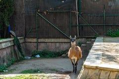 Λάμα Guanaco guanicoe στο ζωολογικό κήπο της Βαρκελώνης στοκ εικόνες