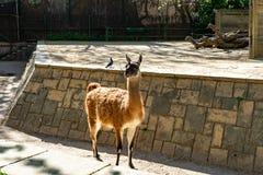 Λάμα Guanaco guanicoe στο ζωολογικό κήπο της Βαρκελώνης στοκ φωτογραφίες με δικαίωμα ελεύθερης χρήσης